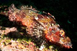 BD-151230-Malapasqua-1523-Scorpaenodes-albaiensis-(Evermann---Seale.-1907)-[Longfingered-scorpionfish].jpg